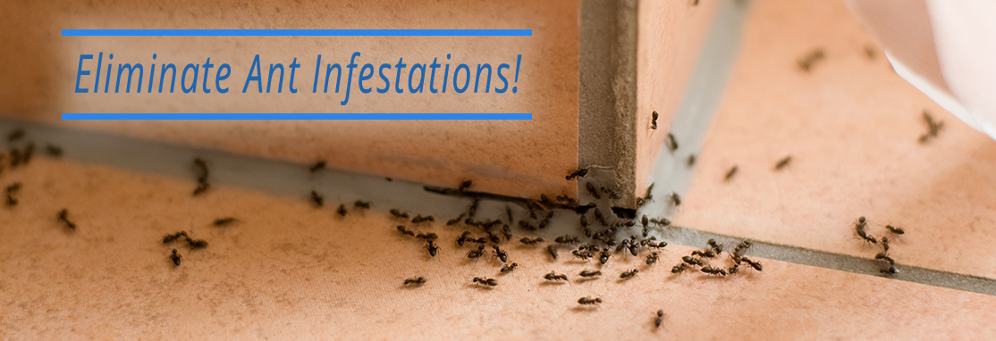 Eliminate Ant Infestations!